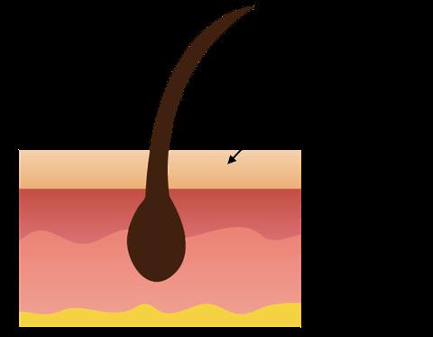 頭皮の構造